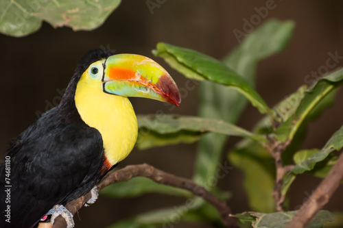 Canvas Toekan Keel-billed Toucan
