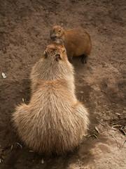 Capybara And Baby