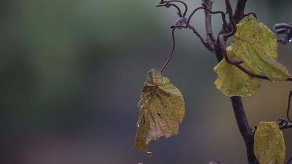 Corkscrew hazel tree (Corylus avellana Contorta) in the wind