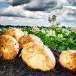 Freshly dug potatoes on agricultural field