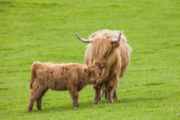 Family on the Meadow - Scottish Cattle and Calf, Scotland