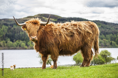 Foto op Aluminium Bison King of the Meadow - Incredible Scottish Cattle