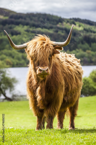 Deurstickers Bison King of the Meadow - Incredible Scottish Cattle