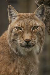 Portret van een lynx.