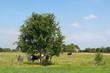 Dutch cows under tree