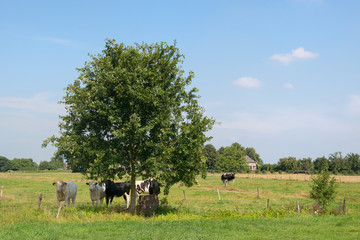 Dutch cows under tree