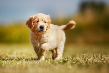 Curious golden retriever puppy