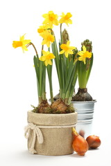 Two pots with young spring flowers over white