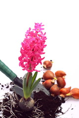 Hyacinth with shovel and flower bulbs over white
