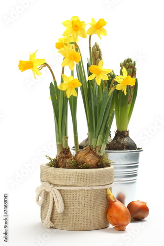Poster Narcis Two pots with young spring flowers over white