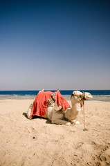 Camel resting on the sand