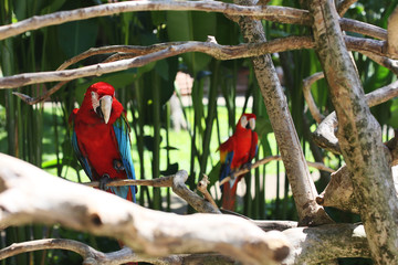 Red Macaw bird with brightly colored feathers