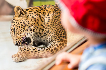 boy is looking through glass on leopard in zoo