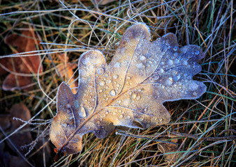 frozen oak leaf on grass