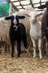 Agnellino bianco e agnellino nero
