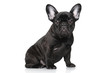 French bulldog puppy on a white background - 74695123