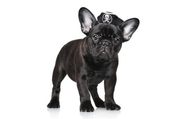 French bulldog puppy in pirate hat