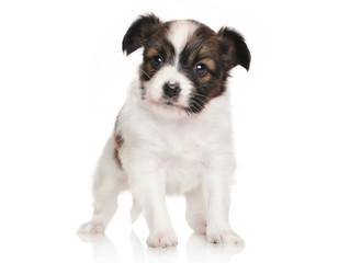 Continental toy spaniel puppy