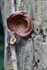 Wild mushroom that grows on wood.