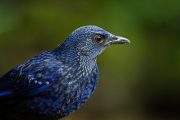 Portrait of Full frame of Blue whistling-Thrush