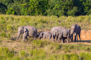 Big group of  Wild Elephant walking in the field in nature a