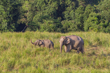 Couple of mother and son of Wild Elephant walking in the field