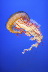 Orange jellyfish (Chrysaora fuscescens or Pacific sea nettle) in