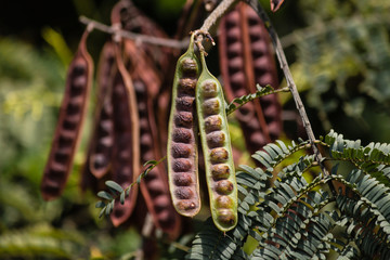 detail of locust seed pods