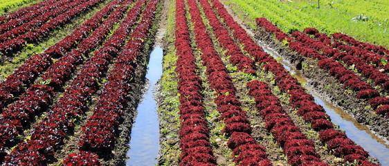 lignes d'un champ de salade en culture intesive