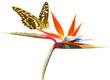 papillon sur strelitzia