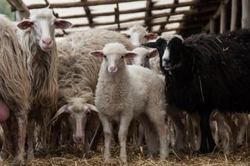 Pecore nell'ovile