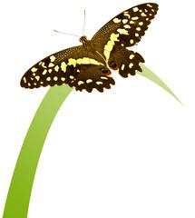 papillon ailes déployées sur brin d'herbe