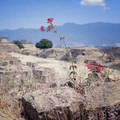 Flower at Monte Alban Ruins, Oaxaca, Mexico