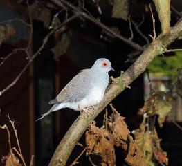 Diamond Dove perched on a tree branch (Geopelia cuneata)