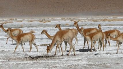 Vicunja Lama herd walking