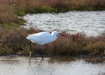 White bird, Little Egret (Egretta garzetta)