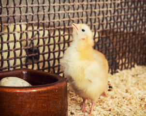Little yellow chick is fed from a bowl