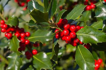 Frutos del Acebo. Ilex aquifolium L.