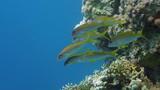 Yellowfin goatfishes (Mulloidichthys vanicolensis) poster