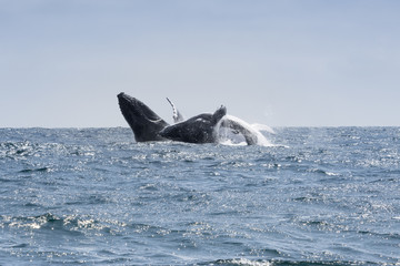 Two Humpback Whales jumping in Puerto Lopez, Ecuador