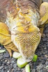 Galapagos land iguana eating, Charles Darwin Research Station