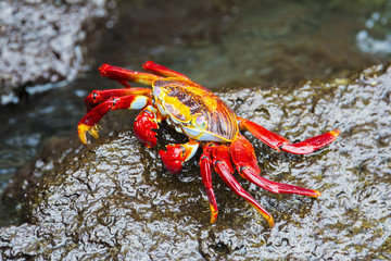 Sally Lightfoot Crab in Galapagos island