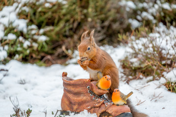 Red squirrel rests on old garden boot