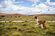 Leinwanddruck Bild - Alpacas on the Altiplano. Bolivia. South America. Eat grass.
