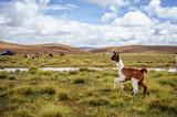 Fototapety Alpacas on the Altiplano. Bolivia. South America. Eat grass.