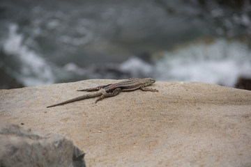 Lizard on the rock