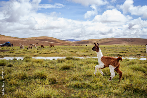 Leinwanddruck Bild Alpacas on the Altiplano. Bolivia. South America. Eat grass.