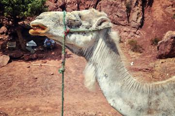 Camel in the desert, Morocco
