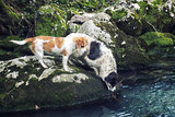 Team Leader - Two dogs fetching a Stick in the River poster