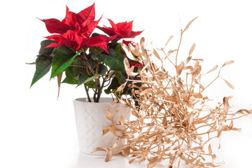 Poinsettia (euphorbia pulcherrima),  Christmas star.